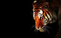 Amazing White Tiger Wallpaper New Stylish Wallpaper Black And White Tiger Wallpapers Wallpapers) Wildlife Wallpaper, Tiger Wallpaper, 1920x1200 Wallpaper, Rainbow Wallpaper, Animal Wallpaper, Phone Wallpapers, Tiger Spirit Animal, Backdrop Tv, Tigers Live