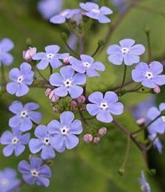 Brunnera macrophylla - Kaukasusvergissmeinnicht  -Stauden