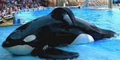Stop the captivity of Killer Whales in France ! Fermons le parc aquatique Marineland d' Antibe