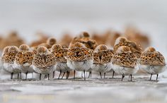 Western Sandpipers at Bottle Beach