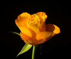 orange rose by lizardofthewisard