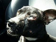 Justice For Minnie Pearl! Bait Dog Severely Injured And Tossed On A South Carolina Road To Perish!   PetitionHub.org