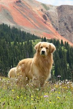 Golden Retriever - Why are they the perfect pets - . - Golden Retriever – Why Are They The Perfect Pets – - Golden Retrievers, Chien Golden Retriever, Beautiful Dogs, Animals Beautiful, Cute Animals, Simply Beautiful, Cute Dogs And Puppies, I Love Dogs, Doggies