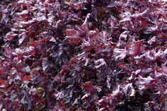 Perila je dostupná v červené i zelené formě a v obou je natolik aromatická, že odpuzuje hmyz, ale přitáhne vám na zahrádku motýly. Meat