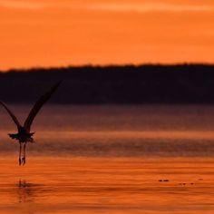 #soloppgang #hegre #oslofjorden #vinterlys #udstuennaturbilder #nikond7200 #januar2017 #sunrise #orange #silhuett #heron #fjord  #visitvestfold #visitnorway #utno #yrbilder #norway2day #norway_photolovers #DreamChasersNorway #igscandinavia #pocket_family #pocket_norway #pocket_allnature #pocket_waters #pocket_birds #pocket_colors #pocket_world #pocket_reflections #tv_aqua