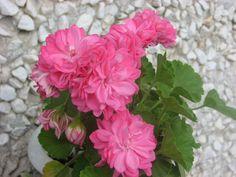 Love Flowers, Beautiful Flowers, Geraniums Garden, Rose, Green, Plants, Gardens, Ornamental Plants, Pictures