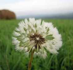 Make a wish Make A Wish, How To Make, Systems Thinking, Free Meditation, Free Photographs, The Heart Of Man, Survival Skills, Garden Landscaping, Dandelion