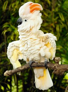 The Salmon-crested Cockatoo is a curious-looking bird.