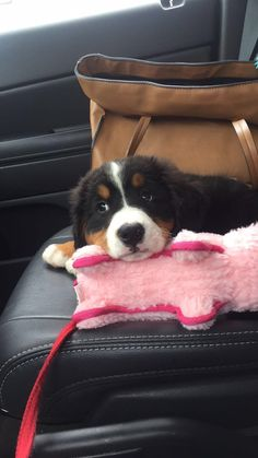 Pinterest: @sharpey_x 😘 Cute Dog Photos, Cute Animal Pictures, Puppy Pictures, Puppies And Kitties, Funny Cats And Dogs, Cute Puppies, Burmese Mountain Dogs, Hairless Dog, Dog Ages