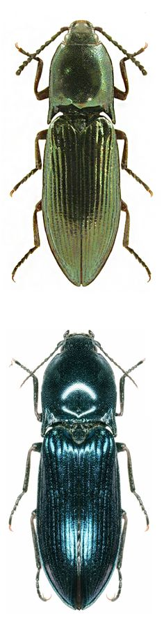 Photos - BUGS & INSECTS - Selatosomus aeneus, green and blue forms