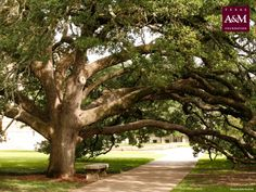 Century tree on the TAMU campus. This was where Ben proposed! Aggie Football, Aggie Game, Football Season, Texas A&m, Texas Logo, Texas Pride, Lone Star State, College Station, Mother Nature