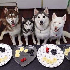 Four Siberian Huskies waiting for their healthy snack. Blueberries, Raspberries and Bananas are all healthy and safe for dogs.  Of course, everything in moderation, especially for sensitive Husky stomachs.