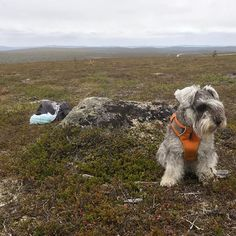 Minnie: hiking with my human in mountain Kaunispää. #miniatureschnauzer #schnauzer #lapland #kaunispää #landscape #hiking Land Scape, Dogs, Animals, Instagram, Animales, Animaux, Animal Memes, Animal, Pet Dogs