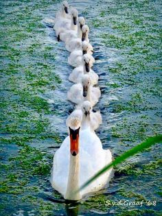 """Line The birds form a line in the water, the swan makes the picture look more """"forward"""". I like how the colors in this picture were combined. Nature Animals, Animals And Pets, Baby Animals, Funny Animals, Cute Animals, Funny Birds, Beautiful Swan, Beautiful Birds, Animals Beautiful"""
