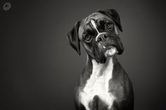 Boxer Dog- the typical look - I love how they look at you like you have something in your teeth!