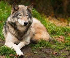 Timber Wolf : 25 Photos Perfectly Prove That Wolves Are The Most Beautiful Animals