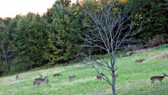 Our Backyard in Maiden NC #deer