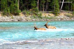 Wild Elk in Banff, Alberta