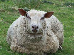 Sheep | Flickr - Photo Sharing!