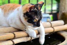 金魚を捕ろうとする三毛猫♀ /   Japanese Tortoiseshell Cat ♀ you trying to goldfish