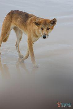 Dingo on Fraser Island, Queensland, Australia  #fraserexplorer #fraserisland #queensland #australia www.fraserexplorertours.com.au