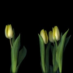 OSTRACISED...Tulips by Magda Indigo on 500px