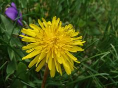 first dandelions-the rabbits love them, they must taste good :)