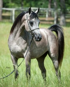 Farah Magidaa LDA, amazing grey filly by Mishaal HP. family exported to Europe. Available!