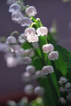 My favorite little flower,reminds me of home. Lily of the valley Lilies Of The Field, Lily Of The Valley Flowers, Flower Phone Wallpaper, Love Images, Water Lilies, Vintage Flowers, Pretty Pictures, Garden Inspiration, Flower Art