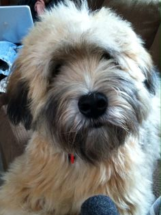 This looks just like Lenny... LOVE wheaten terriers and would recommend them to anyone!!! :)