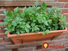Táto nenápadná bylinka by mala byť v každej záhradke: Väčšina ľudí netuší, na čo všetko ju môžete využiť!