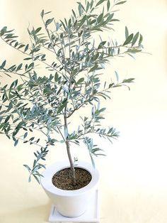 オリーブの木インテリアとして飾りたい白陶器鉢植え https://www.facebook.com/tabaca.magno?hc_location=timeline