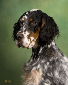 English Setter ~ Classic Look & Trim