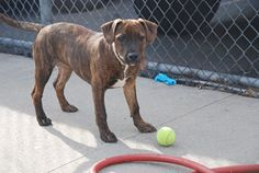 SAFE 6-23-2015 --- RETURNED 06/18/15 MOVEPRIVA --- SAFE 4/27/14 --- Brooklyn Center   JORDAN - A0997596   FEMALE, BL BRINDLE / WHITE, PIT BULL MIX, 4 mos  STRAY - STRAY WAIT, NO HOLD Reason STRAY   Intake condition NONE Intake Date 04/23/2014, From NY 11693, DueOut Date 04/26/2014,   https://www.facebook.com/photo.php?fbid=793298704016344&set=a.617941078218775.1073741869.152876678058553&type=3&theater