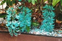 The jade vine is a rare woody vine native to the tropical rainforests of the Philippines. It is a member of the pea and bean family and is closely related to kidney beans. The plant carries claw shaped flowers which grow from hanging trusses; they can reach up to three meters in length. The flower's color can vary from blue green to mint green. The species has proven extremely difficult to propagate, and is considered an endangered species due to the destruction of its habitat and a decrease in natural pollinators.