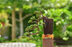 Cascade portulacaria afra (dwarf jade) bonsai.
