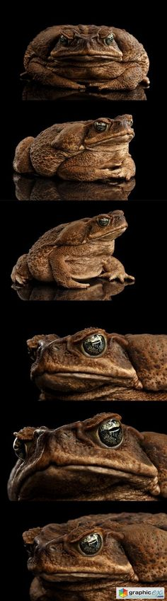 Good photos of a Bufo toad. May be lighter in color in SW FL. Huge in size, one can fill a man's hand. Humans can handle, but deadly to dogs. Amazing Frog, Frog Life, Cute Frogs, Fantasy Monster, Dark Elf, Frog And Toad, Reptiles And Amphibians, Zoology, Long Legs