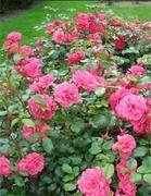 Viherpeukalot-ruusu 2006