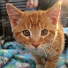 Meet Julius, an adoptable Tabby - Orange looking for a forever home. If you're looking for a new pet to adopt or want information on how to get involved with adoptable pets, Petfinder.com is a great resource.