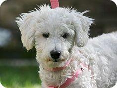 carlsbad, CA - Maltese/Poodle (Miniature) Mix. Meet Tess, a puppy for adoption. http://www.adoptapet.com/pet/14173738-carlsbad-california-maltese-mix