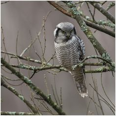 hawk owl by N Mikael Svensson on 500px