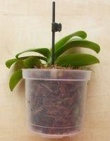 pro orchideje | Jak přesadit orchidej