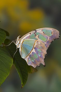 Malachite butterfly (Siproeta stelenes).  It doesn't look real.  Beautiful! Another blue one.