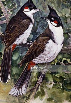 Pretty Birds, Beautiful Birds, South African Birds, Bird Illustration, Illustrations, Rose Oil Painting, Ancient Mysteries, Bird Drawings, Exotic Birds