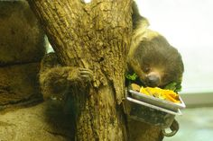 Chewy, a Linne's Two-Toed Sloth at Milwaukee County Zoo.  Sadly, Chewy is no longer with us and passed on in 2011.