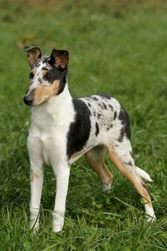 Smooth haired Collie pup - didn't know they existed! Smooth Collie, Rough Collie, Collie Puppies, Collie Dog, Cute Puppies, Cute Dogs, Dogs And Puppies, Baby Animals, Cute Animals