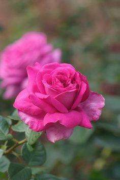 Chatreuse de Parme Rose