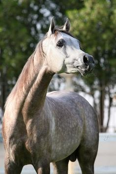 Horse Pedigree Database | Ebtiyaj Al Naif | Arabian, Egyptian | Other Equine Association / Registry