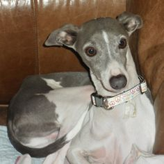 Kennel Training and Separation Anxiety in Italian Greyhounds