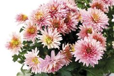 Chrysanthemum flowers-, this plant boasts medicinal and culinary uses. Its flowers are enjoyed as a sweet drink in parts of Asia, the greens are boiled & served as a meal in China.  The NASA study found chrysanthemums to be effective at removing benzene from the air. Benzene is found in inks, paints, plastic, dyes, detergents, gasoline, pharmaceuticals, and pesticides. The flowers last about six weeks and thrive in bright, indirect light.